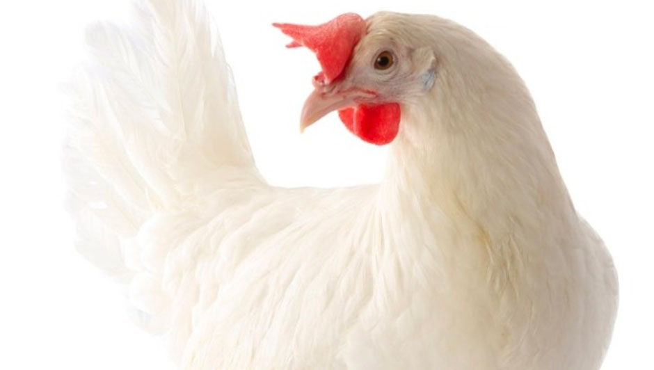 """H&N """"Nick Chick"""": Bred to Maximize Egg Producer Profits"""